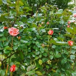 Rose - Agriturismo Al Giuggiolo